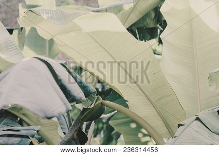 Bunch Of Green Banana Leaves Captured In Jungle. Background With Tropical Leaves
