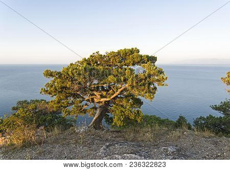 Relict Juniper (juniperus Excelsa) On Top Of The Mountain Above The Sea In The Morning Sun. Karaul-o