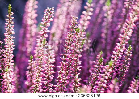 Violet Heather Flowers Field Calluna Vulgaris. Small Pink Lilac Petal Plants, Soft Background. Shall