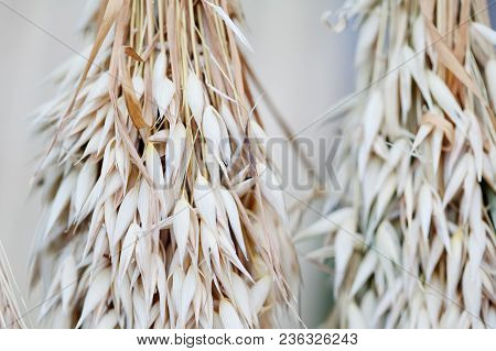 Oat Ears Stalks Bouquet Macro View Photo. Shallow Depth Of Field, Selective Focus.