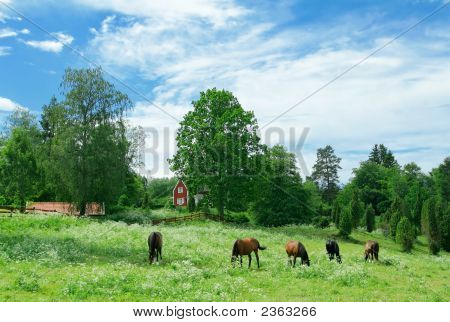 Swedish Villa And Gazing Horses