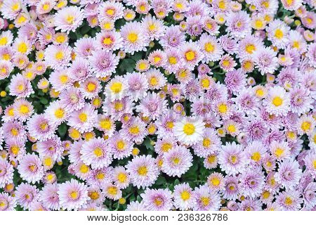 Violet Pink Yellow Chrysanthemum Flowers Field Background. Floral Still Life With Many Colorful Mums