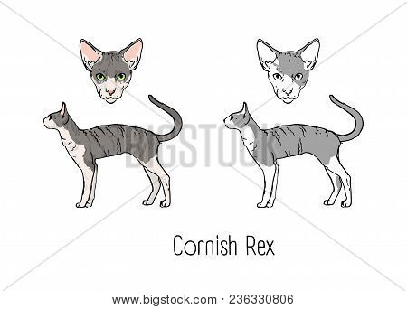 Bundle Of Colored And Monochrome Outline Drawings Of Head And Full Body Of Cornish Rex Cat Isolated