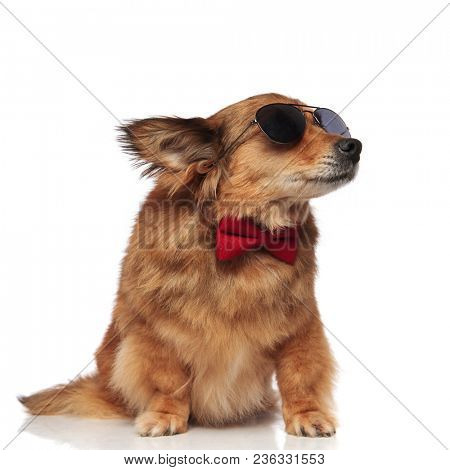 curious classy brown dog with red bowtie and sunglasses looks to side while sitting on white background