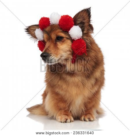 curious brown dog with fluffy white and red balls headband looks down and to side while sitting on white background