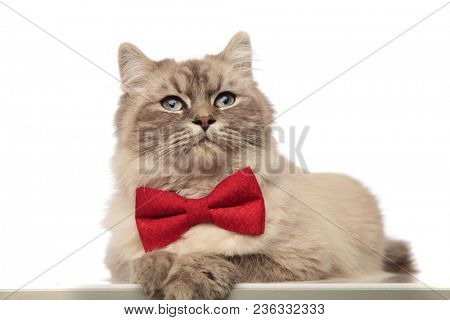 classy grey cat with red bowtie lying with paws hanging looks to side on white background