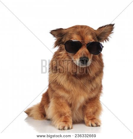 cool brown furry dog wearing sunglasses on a sunny day looks down to side while sitting on white background