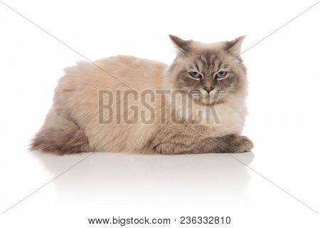 side view of adorable grey cat with blue eyes lying down on white background