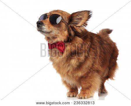 excited brown dog with sunglasses and red bowtie looks up and to side, waiting to be fed, while standing on white background