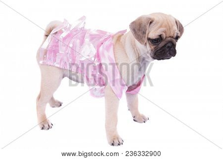 side view of unhappy pug in pink dress looking down to side while standing on white background