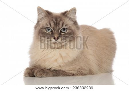 cute cat with grey fur and blue eyes lies down on a white background
