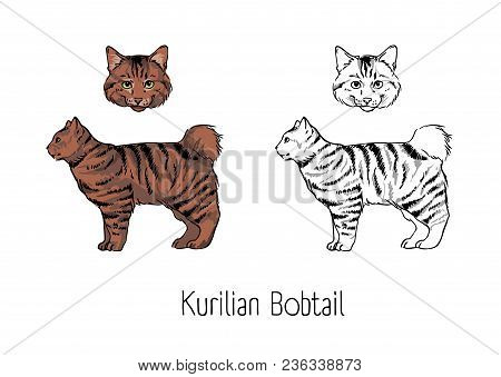 Set Of Colorful And Monochrome Contour Drawings Of Head And Body Of Kurilian Bobtail Cat Isolated On