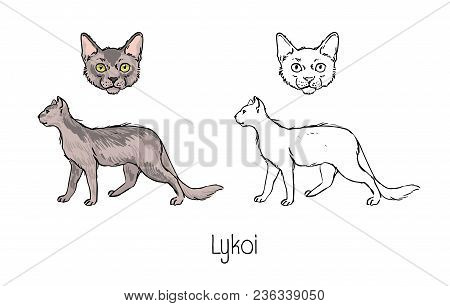 Bundle Of Colored And Monochrome Contour Drawings Of Head And Body Of Lykoi Cat Isolated On White Ba