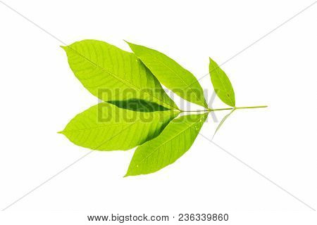 Fresh And Green Tropical And Garden Tree Leaf Texture. Green Leaves Isolated On A White Background F