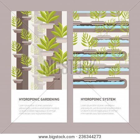 Bundle Of Vertical Banners With Plants Growing In Pots With Mineral Solution And Place For Text. Hyd
