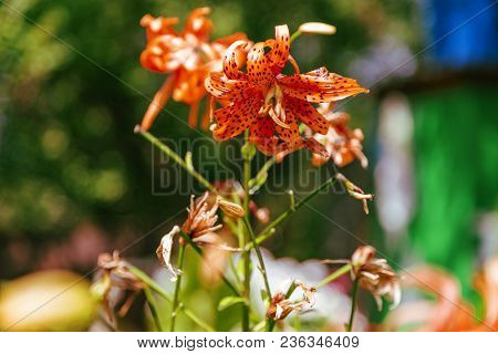 Lily. Tiger Lily. Beautiful Tiger Lilies Growing In The Flower Bed.