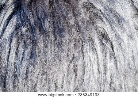 Background Of Sheep Wool On A Hat. Mouton Sheep's Wool.