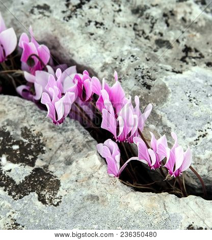 Spring Cyclamen Blossoming In The Greek Mountains. Greece