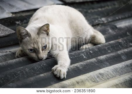 White House Cat Is Crouching On The Roof Top Of The House