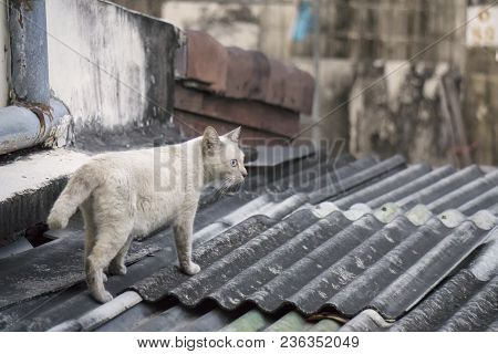 White House Cat Is Walking On The Roof Top Of The House
