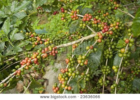 Coffee beans in the plant Chiapas Mexico