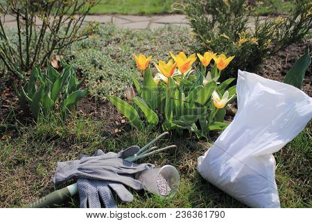 Ripper Tool, Mineral Granulated Fertilizer And Gloves Are In Garden Near Flowering Tulips. Concept O