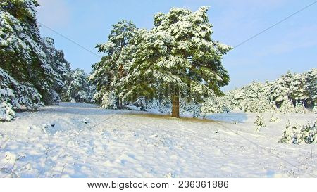 Fabulous Winter Forest, Snow Storm In Pine Winter Forest, Blizzard In The Forest, Forest Trees In Sn