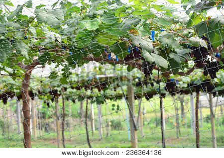 Vineyard Or Grape Plantation With Security Netting From Bird Or Thief, Security And Agriculture Conc
