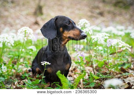 Cute Dog Breed Dachshund, Black And Tan, Portrait On A Background Of White Flowers In Spring In Fore