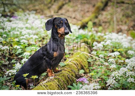 Beautiful Dog Of The Dachshund Breed, Black And Tan, Standing On A Tree In A Forest In A Meadow Of W