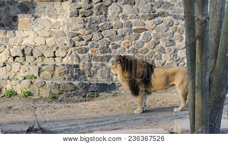Lion With A Beautiful Lush Mane For A Walk, A Warm Spring Day