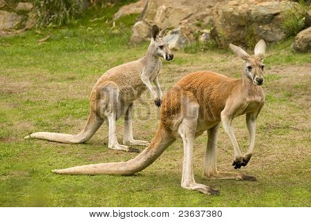 Red Kangaroo, Macropus rufus