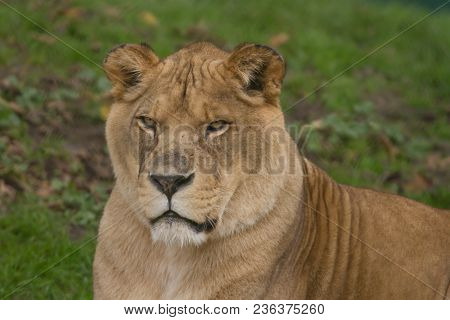 Photo Portrait Of A Beautiful Barbary Lioness Resting