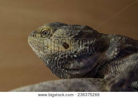 Close-up Portrait Of A Bearded Dragon Lizard
