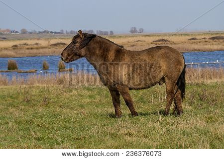 Photo Study Of A Konik Wild Horse Standing In A Green Field With Water In The Back Ground