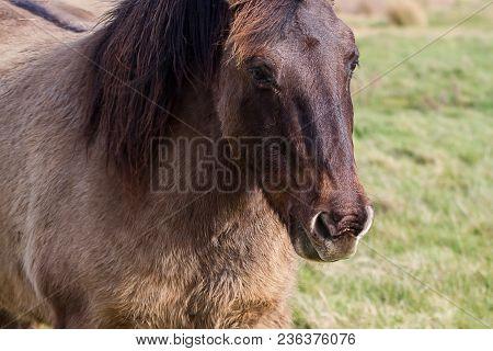 Photo Portrait Of An Adult Konik Wild Horse
