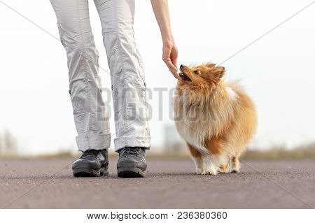 dog trainer gives a shetland sheepdog a treat poster