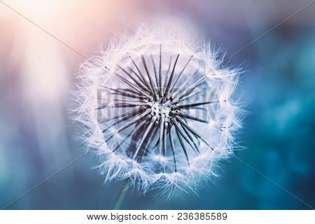 Closeup photo of a beautiful gentle dandelion flower in sunlight, morning in the forest, amazing fragile nature, abstract natural background