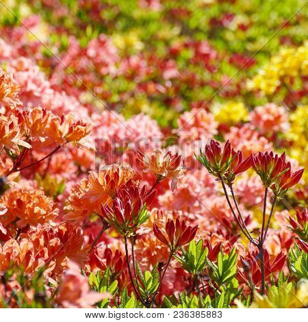 Blooming flowers of rhododendron - pink, red, yellow. Floral background.