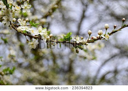Cherry Plum Tree. Cherry Plum  Blossoms White Florets With Gentle Petals. Stamens Of Yellow Color.