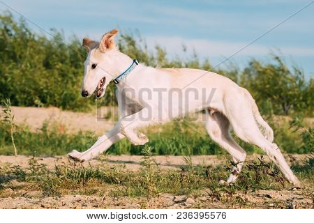 Fast Running Funny Puppy Of Russian Wolfhound Hunting Sighthound Russkaya Psovaya Borzaya Dog Outdoo