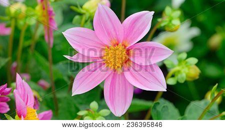 Dahlia On Background Of Flowerbeds. Focus On Flower. Shallow Depth Of Field. Wide Photo.