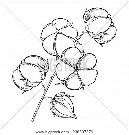 Vector Stem With Outline Cotton Boll With Leaf And Capsule In Black Isolated On White Background. Or