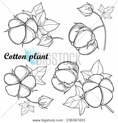Vector Set With Outline Cotton Boll Bunch With Leaf And Capsule In Black Isolated On White Backgroun