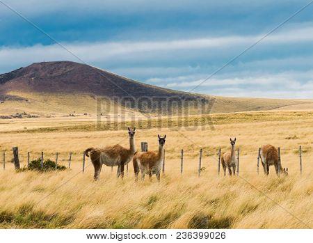 Four curious guanaco lamas (Lama guanicoe) in the endless grass pampas of Argentina