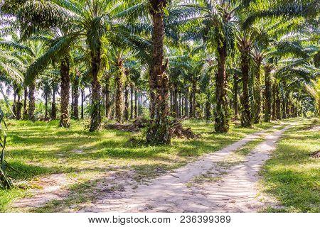 Oil Palm Plantation In The South Of Thailand