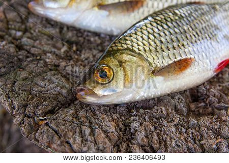 View Of Two Common Rudd Fish On Natural Vintage Wooden Background..
