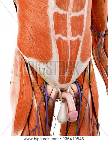 3d rendered medically accurate illustration of the human abdominal anatomy