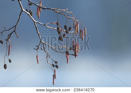 Nature Background. Tree Texture. Red Autumn Catkins Of Populus Canadensis. Blue Background
