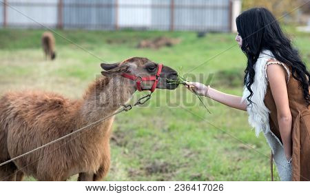 Woman Feeds Camel. Camel Eating From Hands Of Pretty Girl With Long Curly Brunette Hair Outdoor. Ani